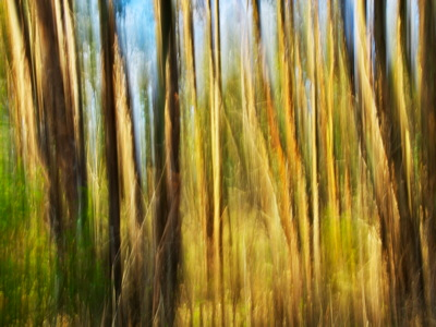Eucalyptus forest in the morning light - Corsica