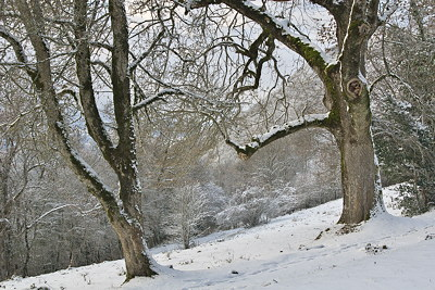 Oak trees in the snow on the Vuache mountain