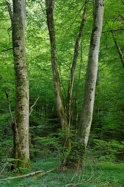Trees in Massif des Bauges forest