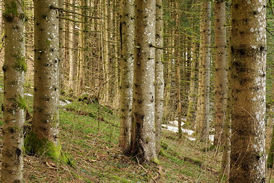Photo of some coniferous trees in the forest of Haut Jura Natural Park - France
