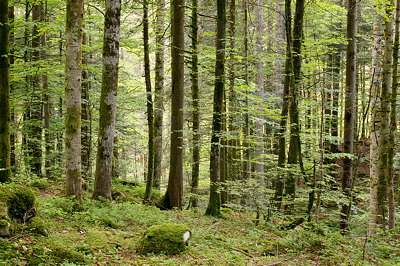Photo of Valserine forest at springtime in Haut Jura Natural Park, France