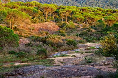 Parasol pines forest in dusk light