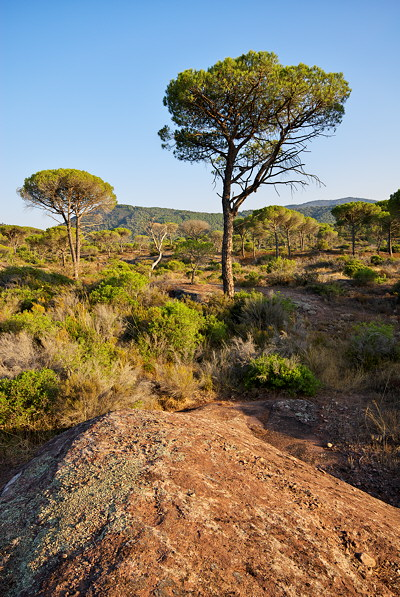 Provence landscape with parasol pines