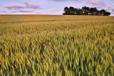 Dusk light on the wheat field