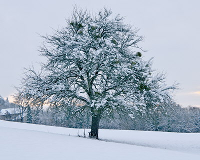 Photograph of an apple tree under the snow during winter