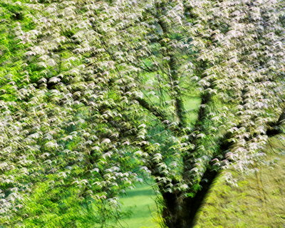 Abstract image of an apple tree in full bloom at springtime