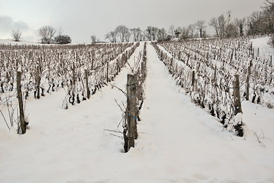 Photograph of the french vineyard covered by snow in winter