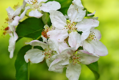 Closeup image of some apple tree flowers at springtime