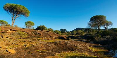 Parasol pines panorama in La Plaine des Maures
