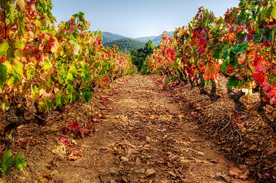 HDR colors in autumn vineyard